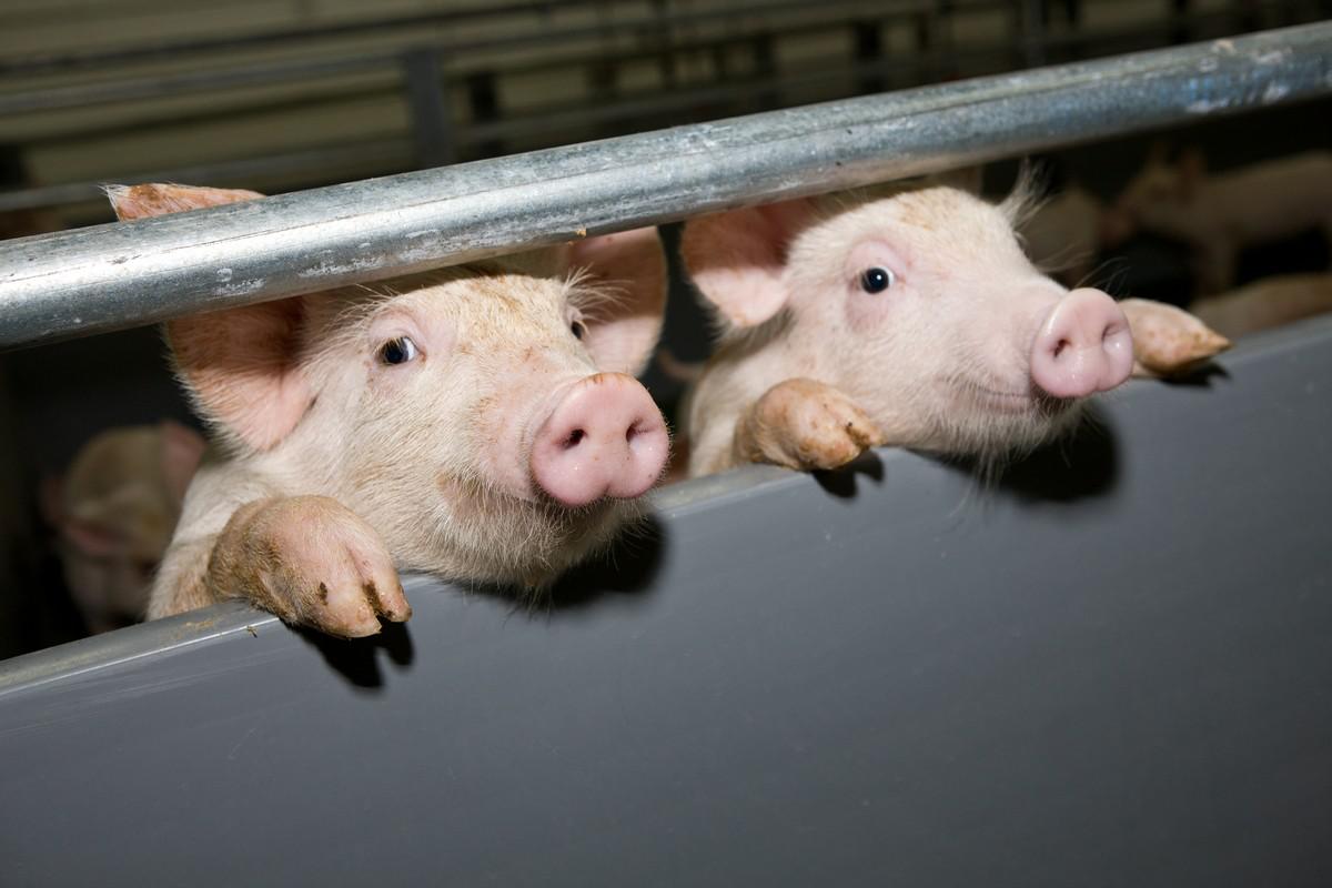 ВТюменской области появится новый свинокомплекс