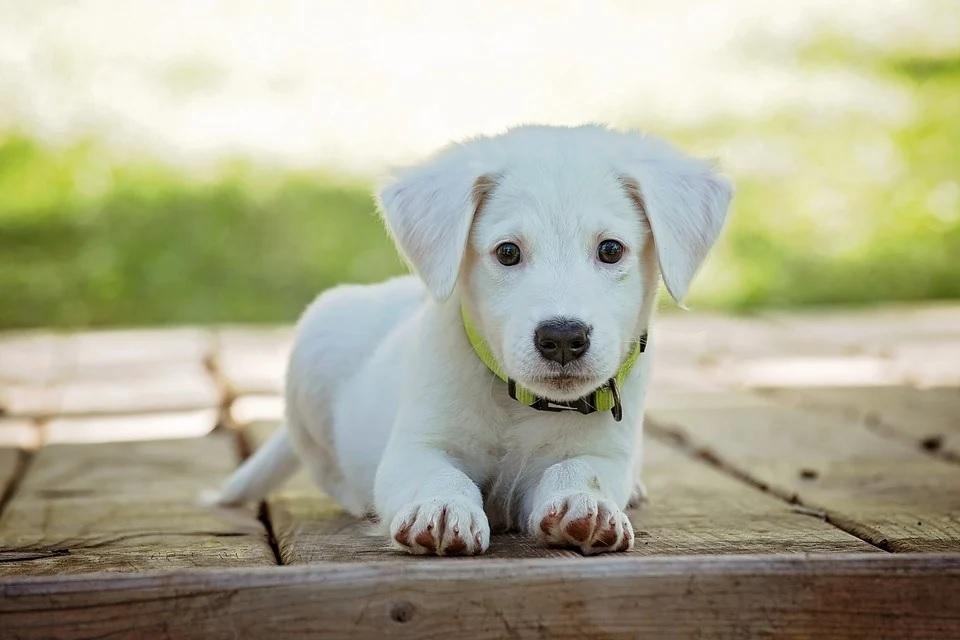 Тюменским собаководам следует знать, как защитить питомца от клещей