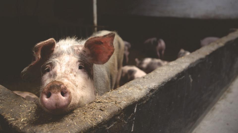 ВТюменской области снят карантин поафриканской чуме свиней