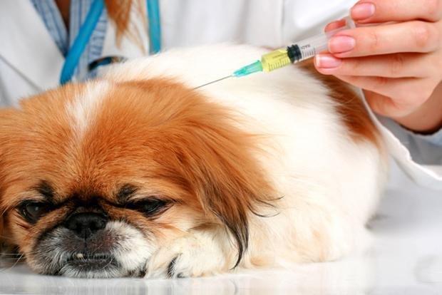 Как сделать прививку собаке от чумки в домашних условиях - Sport holdem