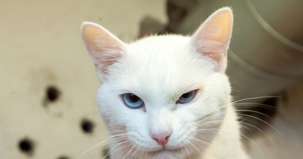 Эрмитажный кот Ахилл стал наиболее популярным котом в РФ