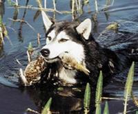 Охота на уток с лайкой.