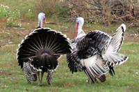 Индейка Домашние птицы.  Виды домашних птиц, фото и описание.