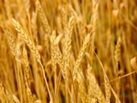 В Наурском районе соберут рекордный урожай зерновых. Фото с сайта newsprom.ru